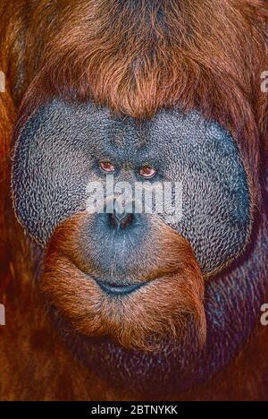 Male Sumatran Orang-utan, (Pongo pygmaeus abelii.)   Critically Endangered. - Stock Photo