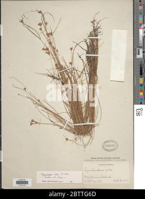 Rhynchospora alba L Vahl. - Stock Photo