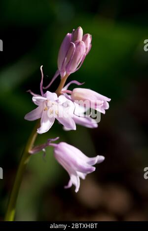 Pink Bluebells in flower in an English country garden, North Yorkshire, England, United Kingdom - Stock Photo