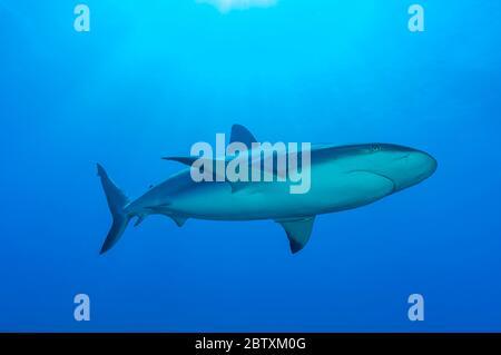 Blacktip shark (Carcharhinus limbatus), blue water, Atlantic Ocean, Caribbean, Bahamas