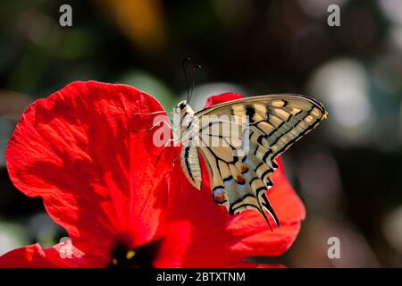 Old World Swallowtail (Papilio machaon) AKA Common yellow swallowtail Butterfly on a flower Photographed in Israel, Summer July. This species, is nati - Stock Photo