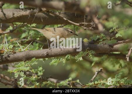 Plain Leaf Warbler (Phylloscopus neglectus) at Desert National Park, Rajasthan, India - Stock Photo