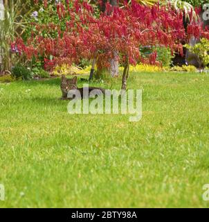 A lone cat reclines in a garden under the shade of a red japanese maple tree - Stock Photo