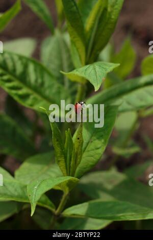 Tiny ladybug on the top of the green garden plant climbing on the leaf above - Stock Photo
