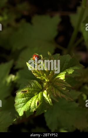 Tiny ladybug crawling on the green leaf of a garden plant - Stock Photo