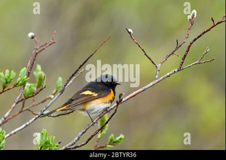 A tiny American Redstart warbler'Setophaga ruticilla',  perched on a willow tree branch in rural Alberta Canada. - Stock Photo