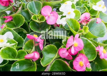 White and pink wax Begonia (Begonia cucullata, also known as Begonia semperflorens). Suitable as background or wallpaper. - Stock Photo