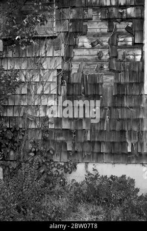 Old weathered wooden shingles with ivy growing up it.  Side of house on the Jersey Shore, Long Beach Island, NJ - Stock Photo