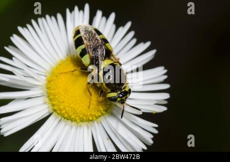 Soldier Fly, Psellidotus sp., foraging on Fleabane, Erigeron sp. - Stock Photo