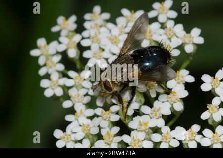 Tachinid Fly, Archytas sp., foraging on yarrow, Achillea millefolium - Stock Photo