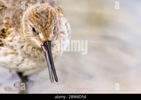 A juvenile dunlin ( Calidris alpina ) feeding in water during a migratory stopover in Ontario, Canada. - Stock Photo