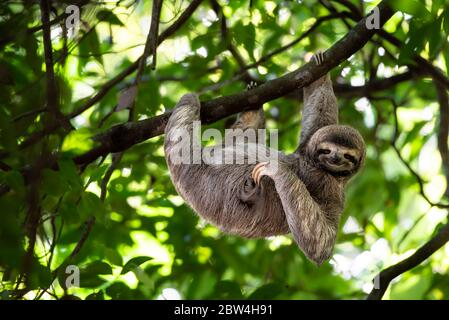 Funny sloth, Costa Rica, hanging on tree scratching belly, cute face animal portrait, Rainforest, Bradypus variegatus, brown-throated three-toed sloth