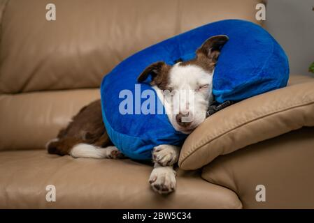 Cute Border Collie dog sleeping on a couch, wearing blue inflatable collar - Stock Photo