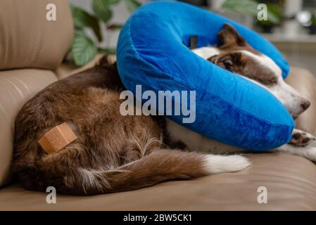 Cute Border Collie dog on a couch, wearing blue inflatable collar - Stock Photo