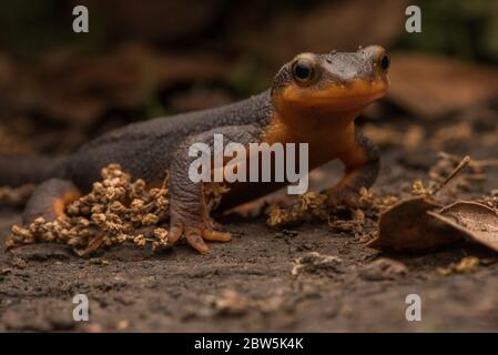 A California newt (Taricha torosa) walking across the forest floor, its bright color serves as a warning about it toxicity as it is poisonous.