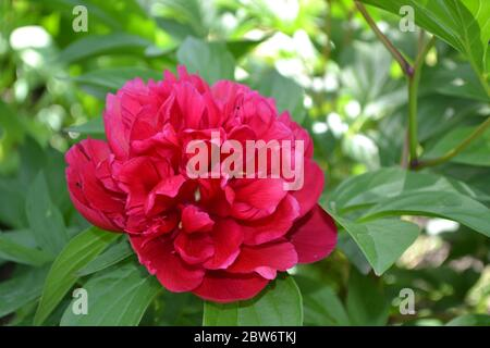 Home garden. Flower Peony. Paeonia, herbaceous perennials and deciduous shrubs. Red flowers