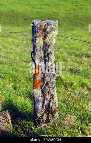 Closeup view of a rotting fence post alive with lichen and moss and mold.  Rusty wire is wrapped around post and new barbed wire runs to the next post - Stock Photo
