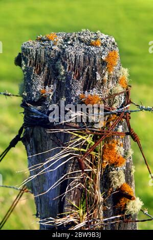 Lichen, moss, grass and mold grow from crevices in rotting fence post on the Big Island of Hawaii.  Rusty wire and barbed wire are wrapped around rust - Stock Photo