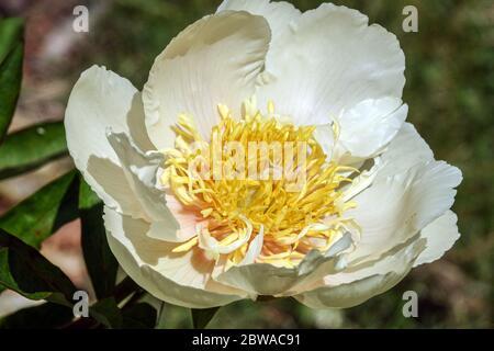 White Peony Claire de Lune Peonies close up flower - Stock Photo
