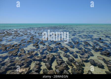 Western Australia Hamelin Pool Marine Nature Reserve - Structures of Stromatolites - Stock Photo