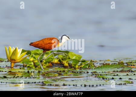 African jacana (Actophilornis africanus) adult walking on lily pads on the Nile, Murchison Falls National Park, Uganda. - Stock Photo