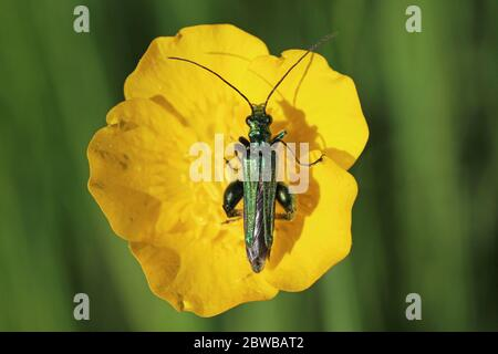 Thick-legged Flower Beetle Oedemera nobilis (male) on Buttercup