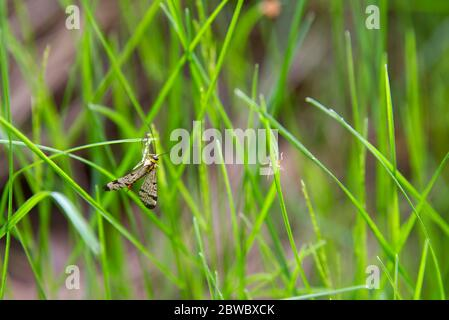 Multicolored mosquito, spring insects on a green grass background