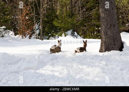 Österreich, Niederösterreich, Ötscherland, in der Langau, Rehe flüchten im tiefen Schnee Stock Photo
