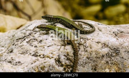 two lizards on a rock suface of the riverbank in the Italian region Lazio - Stock Photo