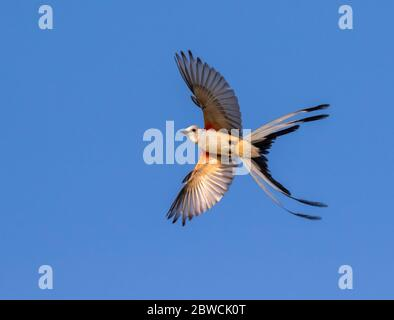 Scissor-tailed flycatcher (Tyrannus forficatus) opens tail making a turn in the air, Galveston, Texas, USA. - Stock Photo