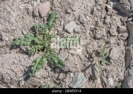 Leaf rosette of a young Shepherds Purse / Capsella bursa-pastoris plant in a parched cropped field. Once used medicinally, and also edible - Stock Photo