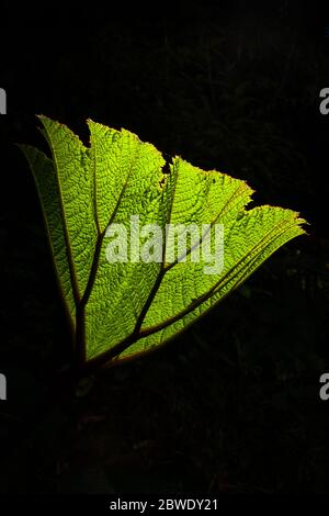 Large green leaf in the understory of the lush cloudforest in La Amistad national park, Chiriqui province, Republic of Panama.