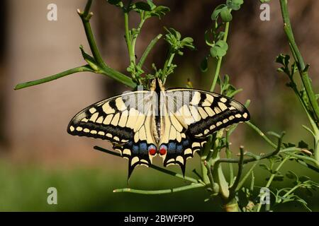 Old World Swallowtail (Papilio machaon) AKA Common yellow swallowtail Butterfly on a flower Photographed in Israel, Summer June. This species, is nati - Stock Photo