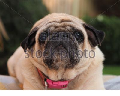 Pug dog chilling in the garden - Stock Photo