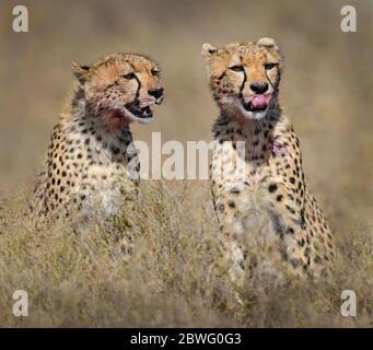 Two cheetahs (Acinonyx jubatus) sitting together, Ngorongoro Conservation Area, Tanzania, Africa - Stock Photo