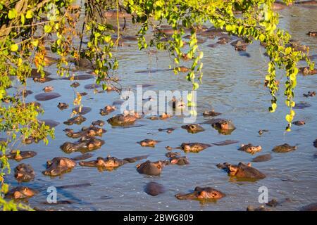 Flock of common hippopotamus (Hippopotamus amphibius) relaxing immersed in water, Serengeti National Park, Tanzania, Africa