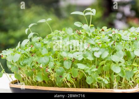 Side view of sprouts growing in a tray in natural background and light. Micro greens concept