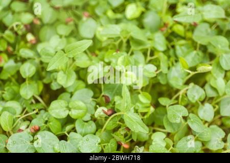 Micro greens concept background of sprouts growing