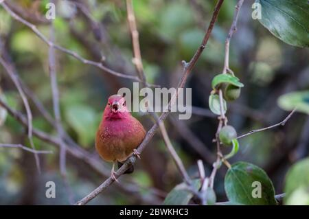 Senegal red-billed firefinch (Lagonosticta senegala) perched on a tree branch in Mozambique and singing with its beak open - Stock Photo