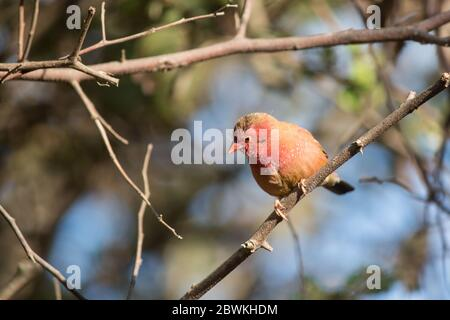 Senegal red-billed firefinch (Lagonosticta senegala) looking down perched on a tree branch in Mozambique - Stock Photo