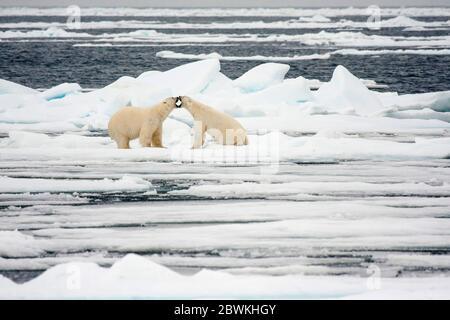 polar bear (Ursus maritimus), two bears fighting on an ice floe, Norway, Svalbard - Stock Photo