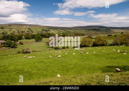 A field of sheep graze on pasture above Teesdale valley in County Durham. - Stock Photo