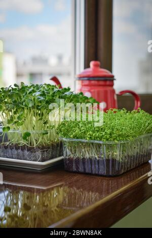 Microgreen of garden cress and daikon radish, young plants, in plastic container on windowsill closeup Stock Photo