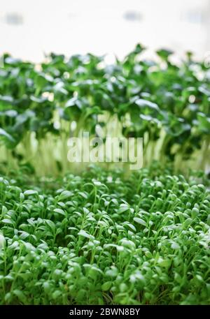 Microgreen of garden cress and daikon radish, young plants, in plastic container on windowsill closeup - Stock Photo