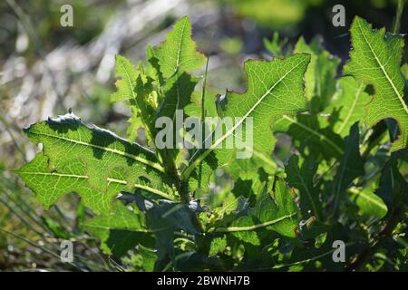 Spiny lettuce in the beautiful Evening light - Stock Photo