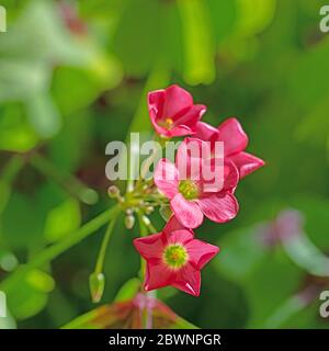 Flowering lucky clover, oxalis tetraphylla - Stock Photo