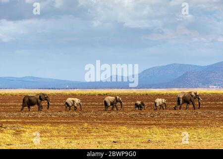 Family of African elephants walking together in a row through a dried river bed in Amboseli, Kenya in Africa