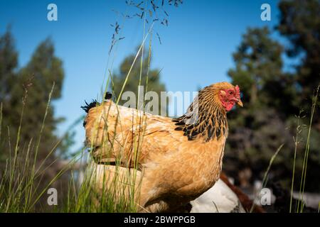 A close up of a single free range hen standing in tall grass with a blue sky background