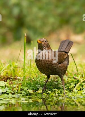 A female Blackbird (Turdus merula) drinking from a garden pond, Warwickshire - Stock Photo