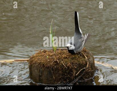 White wagtail (Motacilla alba) in spring on wooden pole and water around frighten oneself, Poland, Europe. - Stock Photo